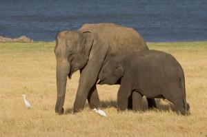 Elephas_maximus_maximus_-_01